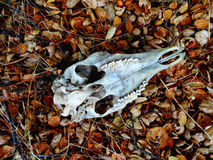 Black-tailed Deer Skull In Situ Royalty Free Stock Photos