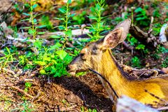 Black Tailed Deer sleeping on Tod Mountain in BC Canada stock image