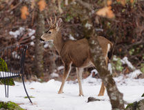 Black-tailed deer in the snow Royalty Free Stock Photography