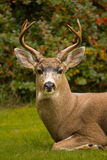 Black-tailed Deer Stag Stock Images