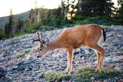Black-tailed Deer. During sunset Royalty Free Stock Photo