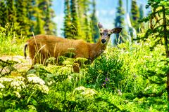 Black Tailed Deer walking on Tod Mountain in BC Canada royalty free stock image