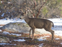 Black-tailed deer in the winter Stock Images