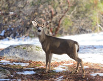 Black-tailed deer in the winter Royalty Free Stock Image