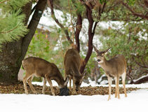 Black-tailed deer in the winter Stock Photography