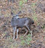 Black-tailed Deer (Odocoileus hemionus) posing in Foliage Background. Adult, Male. Royalty Free Stock Photo