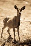 Black-tailed deer in Yosemite National Park Stock Images