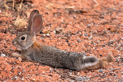 Black Tailed Desert Jack Rabbit Royalty Free Stock Photos
