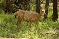 Black-tailed doe Royalty Free Stock Image