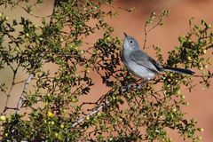 Black-tailed Gnatcatcher in Valley of Fire State Park, NV. - 2 royalty free stock image