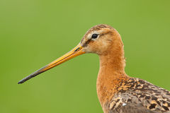 Black-tailed God-wit. A portrait of a Black-tailed God-wit stock photography