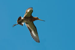 Black-tailed godwit. An flying black-tailed godwit male against a blue sky Royalty Free Stock Images