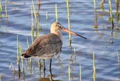 Black-tailed godwit Stock Photos