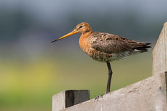 Black tailed godwit Stock Image