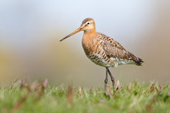 Black tailed godwit. A black-tailed godwit standing in a meadow during spring Stock Photography