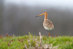 Black tailed godwit. A black-tailed godwit during spring Stock Photo