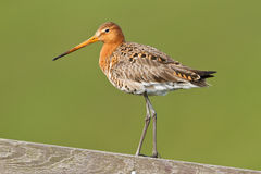 Black tailed godwit. A black-tailed godwit on a wooden fence during spring Royalty Free Stock Photo
