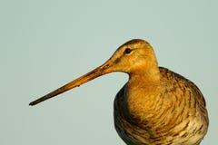 Black Tailed Godwit Stock Image