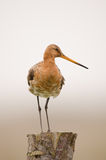 Black-tailed godwit Royalty Free Stock Image