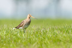 Black-tailed Godwit Arkivfoto