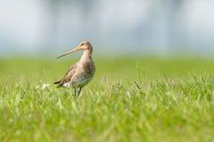 Black-tailed Godwit Royaltyfria Foton