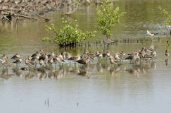 Black-tailed godwit Stock Photography