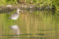 Black Tailed Godwit Stock Photos
