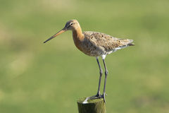 Black-tailed Godwit Stock Images