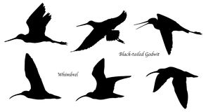 Free Black-tailed Godwit And Whimbrel In Flight Silhouettes Royalty Free Stock Photography - 124881537