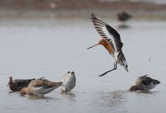 Black Tailed Godwit Arriving To Feed royalty free stock photo