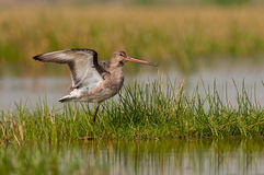 Black tailed Godwit balancing Stock Photography