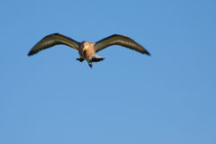 Black-tailed Godwit bird flying Stock Photography