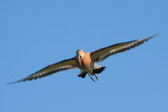 Black-tailed Godwit bird flying Royalty Free Stock Image