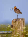 Black-tailed Godwit calling from post Stock Photography