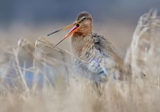 Black-tailed godwit cries or sings his song with very wide open beak and protruding pink tongue stock photos