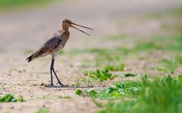 Black-tailed godwit calls and warns on the sand road royalty free stock image