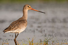 Black-tailed Godwit closeup Royalty Free Stock Photography