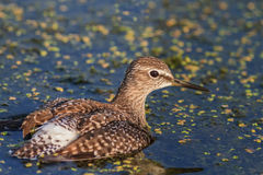 Black tailed godwit Royalty Free Stock Photos