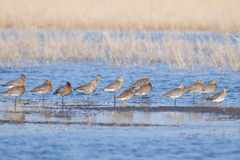 Black Tailed Godwit Flock Royalty Free Stock Photography