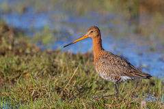 A Black-tailed Godwit Royalty Free Stock Photography