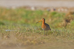 A Black-tailed Godwit Stock Image