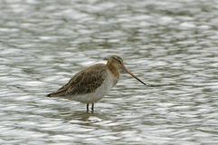 Black-tailed Godwit - Limosa limosa Royalty Free Stock Image