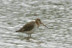Black-tailed Godwit - Limosa limosa Royalty Free Stock Image