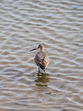 Black tailed Godwit Royalty Free Stock Photo