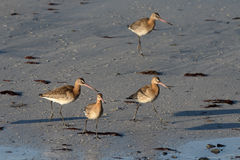 Black-tailed godwit, Limosa limosa Stock Photo