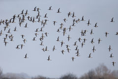 Black-tailed godwit, Limosa limosa Royalty Free Stock Image