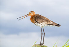 Black-tailed godwit Royalty Free Stock Photo