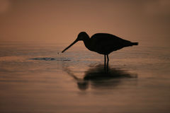 Black-tailed godwit, Limosa limosa Stock Photography