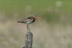 Black-tailed godwit, Limosa limosa Stock Photos
