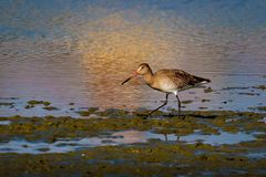 A Black-tailed Godwit, Limosa limosa, wader. UK.